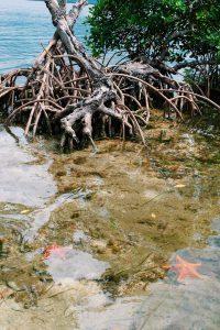mangroves tree starfish Cayo Levisa Cuba