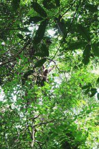 Gibbons Gunung Leuser National Park Bukit Lawang Sumatra