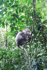 monkey beauty sleep Bukit Lawang Sumatra Indonesia