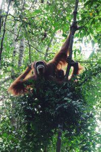 orangutan Gunung Leuser National Park Bukit Lawang Sumatra