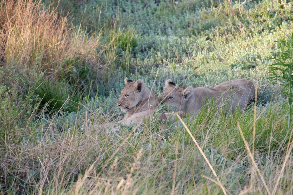 playful lion cups Sibuya game safari South Africa